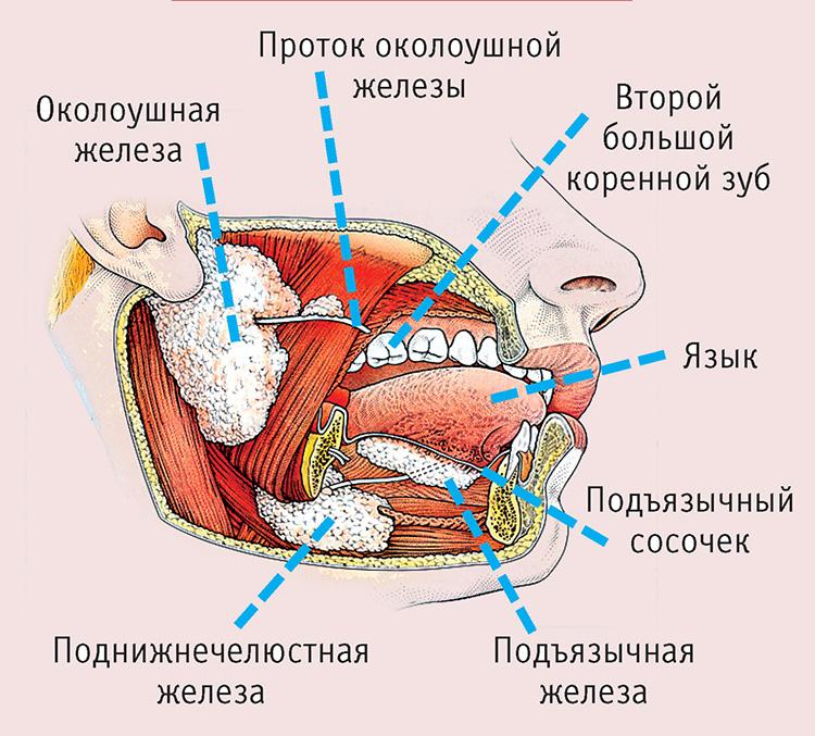 Анатомия слюнных желез человека