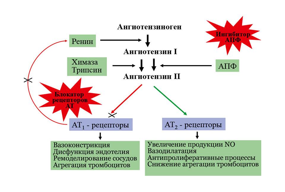 Механизм действия антагонистов рецепторов ангиотензина 2