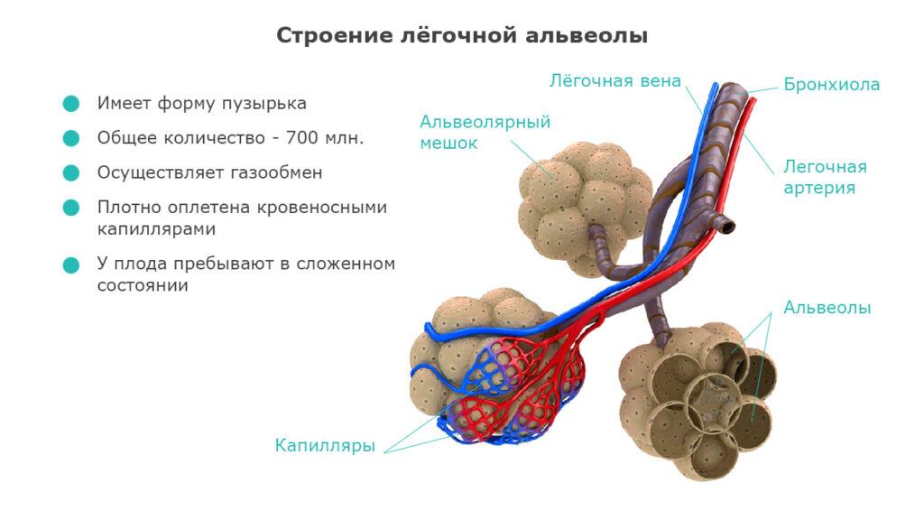 Строение лёгочной альвеолы